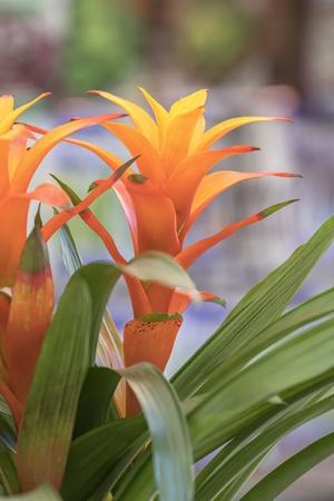 Photo for guzmania lingulata in the vase - Royalty Free Image