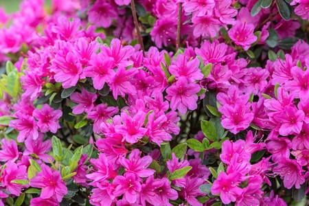 Photo for pink azalea in the garden - Royalty Free Image
