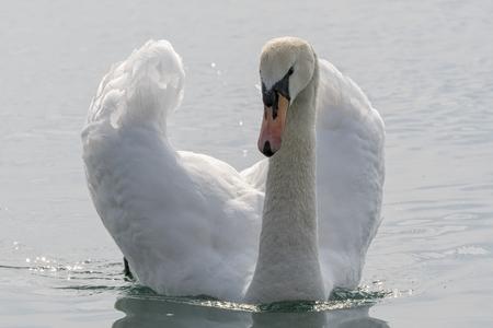 cute swan on lake
