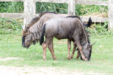 Portrait of a wildebeest, National park of dhaka,bangladesh