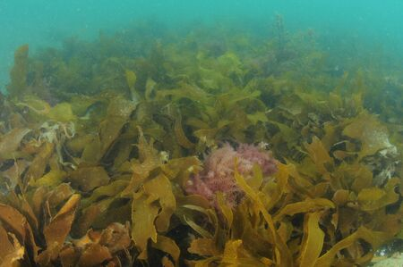 Photo pour Dense layer of fronds of brown kelp Ecklonia radiata disappearing in murky water. - image libre de droit