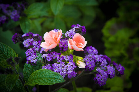 Two delicate pink flowers circled by purple blooms in a garden