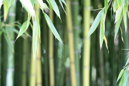 Photo pour Bamboo plantation, Green bamboo fence texture background, bamboo texture, Aquitaine, France - image libre de droit