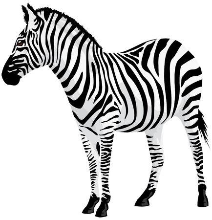Zebra. illustration.