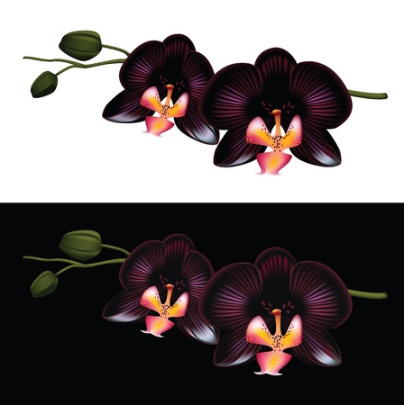 Black orchid isolated on a white and black background.