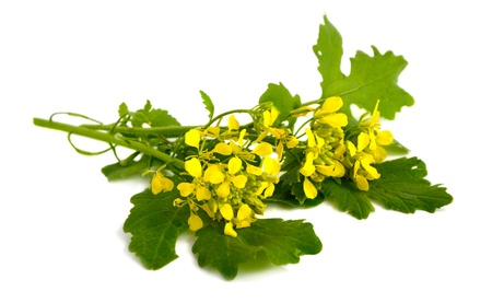 Mustard flowers on a white background.