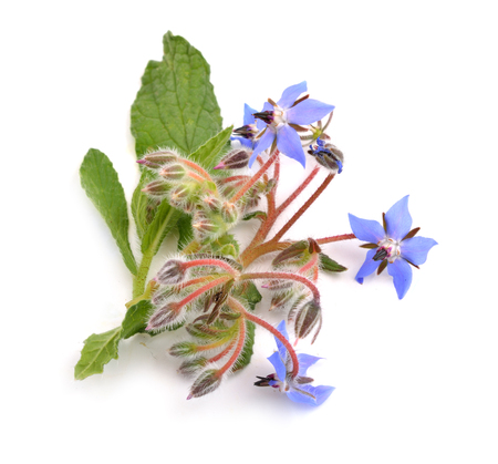Borage flowers isolated on white background.