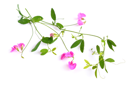 Photo pour Lathyrus, commonly known as peavines or vetchlings. Isolated on white background. - image libre de droit