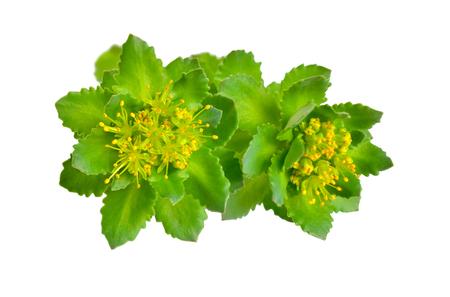 Foto für Rhodiola rosea or golden root, rose root, roseroot, Aarons rod, Arctic root, kings crown, lignum rhodium, orpin rose - Lizenzfreies Bild