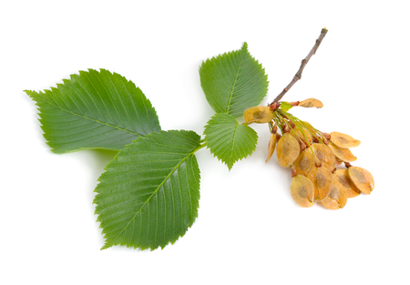 Photo for leaves and seeds of Elms Isolated on white background. - Royalty Free Image