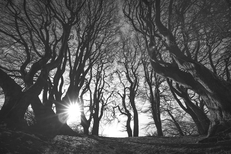 Photo pour Spooky forest in black and white with scary tree silhouettes in the sunrise - image libre de droit