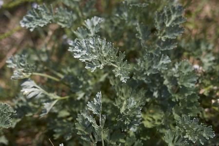 Foto für Artemisia absinthium   - Lizenzfreies Bild
