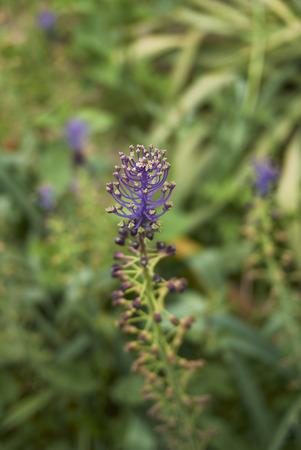 Muscari comosum flower