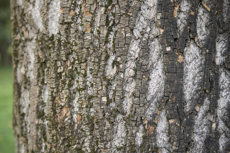 Acer saccharinum plant