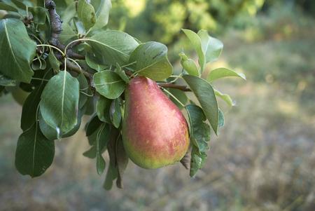 Foto für Pyrus communis branch with ripe pears - Lizenzfreies Bild