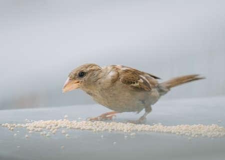Photo pour Close-up of a sparrow eating millet grains on a neutral background - image libre de droit