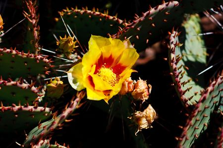 Prickly pear cacti typically grow with flat, rounded platyclades  that are armed with two kinds of spines; large, smooth, fixed spines and small, hairlike spines called glochids, that easily penetrate skin and detach from the plant.