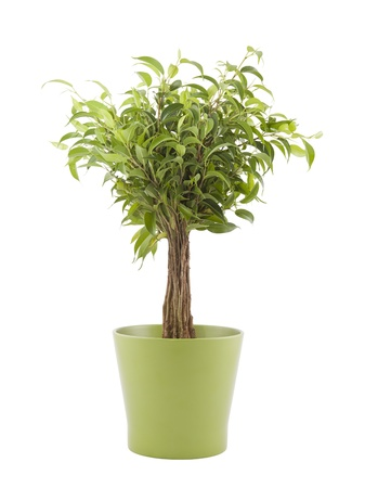 Ficus Benjamin in green pot with clipping path
