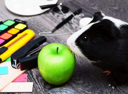 Back to school  Guinea pig  On wooden background の写真素材