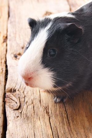 Guinea pig on wooden board.の写真素材
