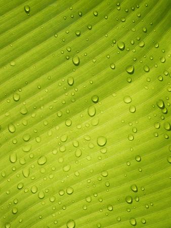 Foto de Water drops on Banana Leaf Fresh - Imagen libre de derechos