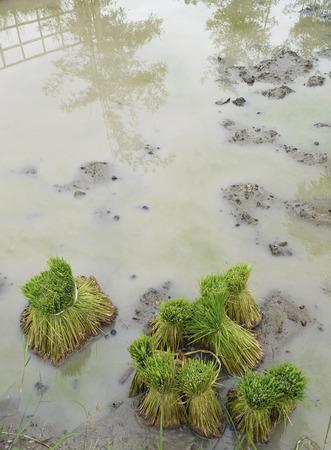 Green rice seedling prepare for transplanting