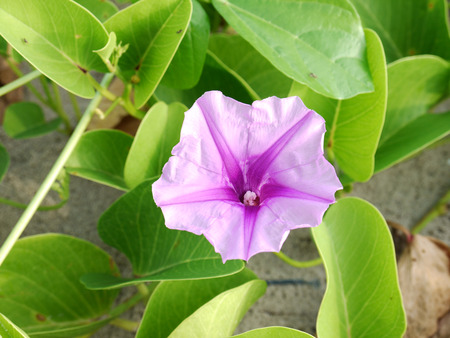 Ipomoea pes-caprae Sweet or Beach Morning Glory (Scientific Name : Ipomoea Pes-caprae)