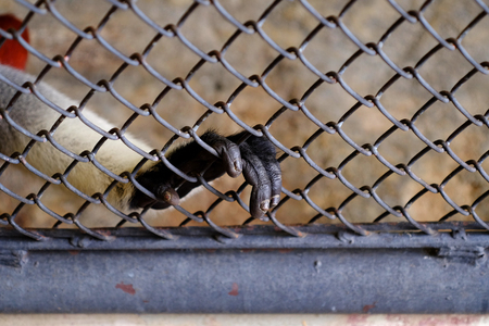 hand of red shanked douc ( Pygathrix nemaeus ) in cage at zoo