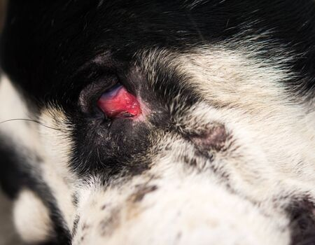 Photo for Conjunctivitis in dogs and signs of infection - Royalty Free Image