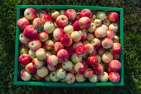 Photo for Ripe juicy apples harvested in autumn - Royalty Free Image