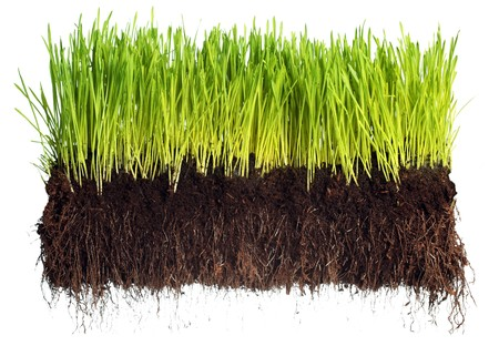Foto per Green grass showing roots - Immagine Royalty Free