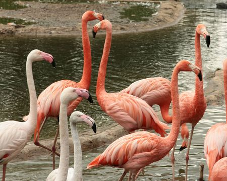 Pink and white flamingos have a rest on the river