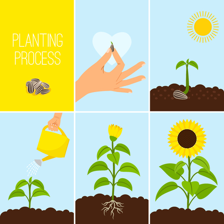 Illustration for Flower planting process vector illustration. Planting a seed watering. Growing and blooming sunflower - Royalty Free Image