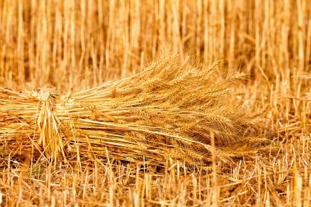 sheaf of golden wheat