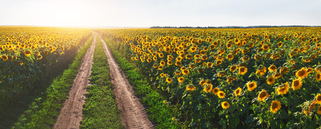 Foto per Summer landscape with a field of sunflowers, a dirt road - Immagine Royalty Free