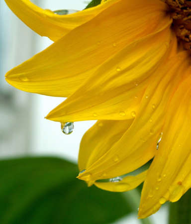 Drop on sun flower