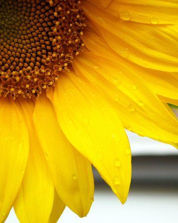 Part of sun flower