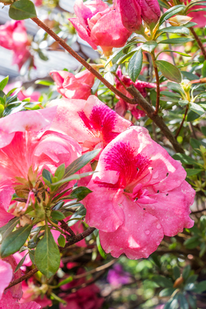 Pink Azalea flowers with water droplets on petals