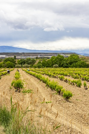Photo for Vineyard workers in a Navarre vineyard near Viana, Spain on the Way of St. James, Camino de Santiago - Royalty Free Image