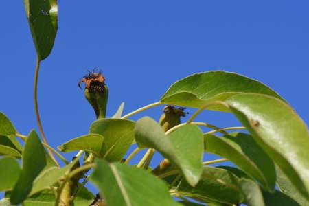 Foto für Pear on the tree in the garden - Lizenzfreies Bild