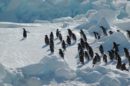 Antarctic adelie penguin swarm