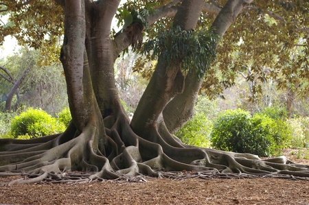 The decortaive extensive aerial root system of the Banyan tree, a member of the ficus or fig family