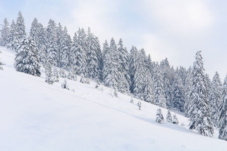 Snowy Alpine Trees I