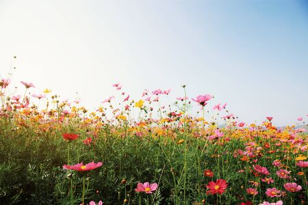 Photo pour Colorful of cosmos in field with sunrise at sky. - image libre de droit