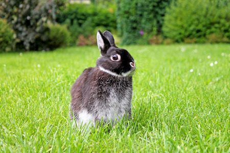 Little black rabbit on the spring lawn. Netherland Dwarf Rabbit.