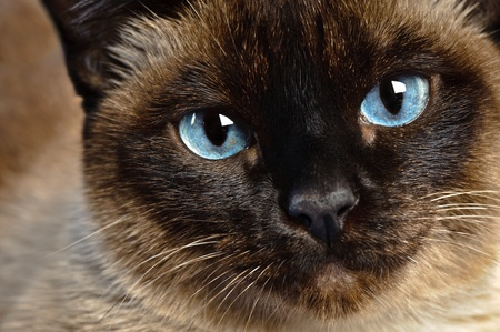 close up of cute blue-eyed siamese cat