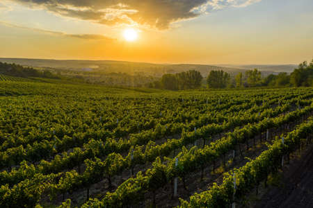 Photo pour Beautiful sunset over green hills with cultivated vines, Cricova, Moldova - image libre de droit