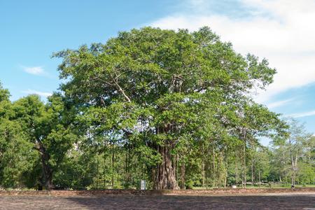 Foto per Buddhist Bodhi tree (Ficus religiosa). Sri Lanka - Immagine Royalty Free