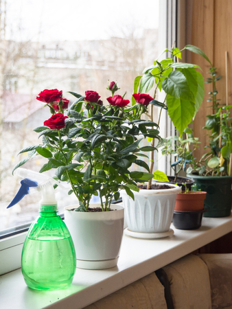 Foto de Indoor floriculture. Spray on the window with pots of flowers. - Imagen libre de derechos