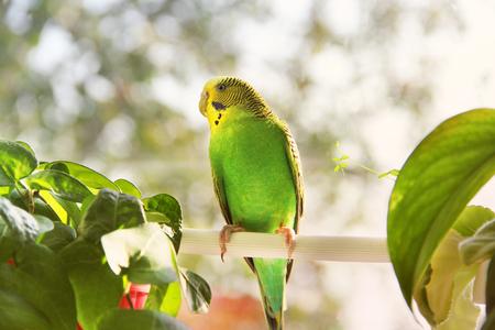 Budgerigar. Parrot near the window